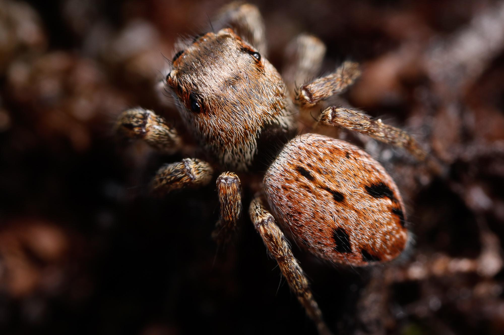 Evarcha arcuata ♀, bandithoppspindel