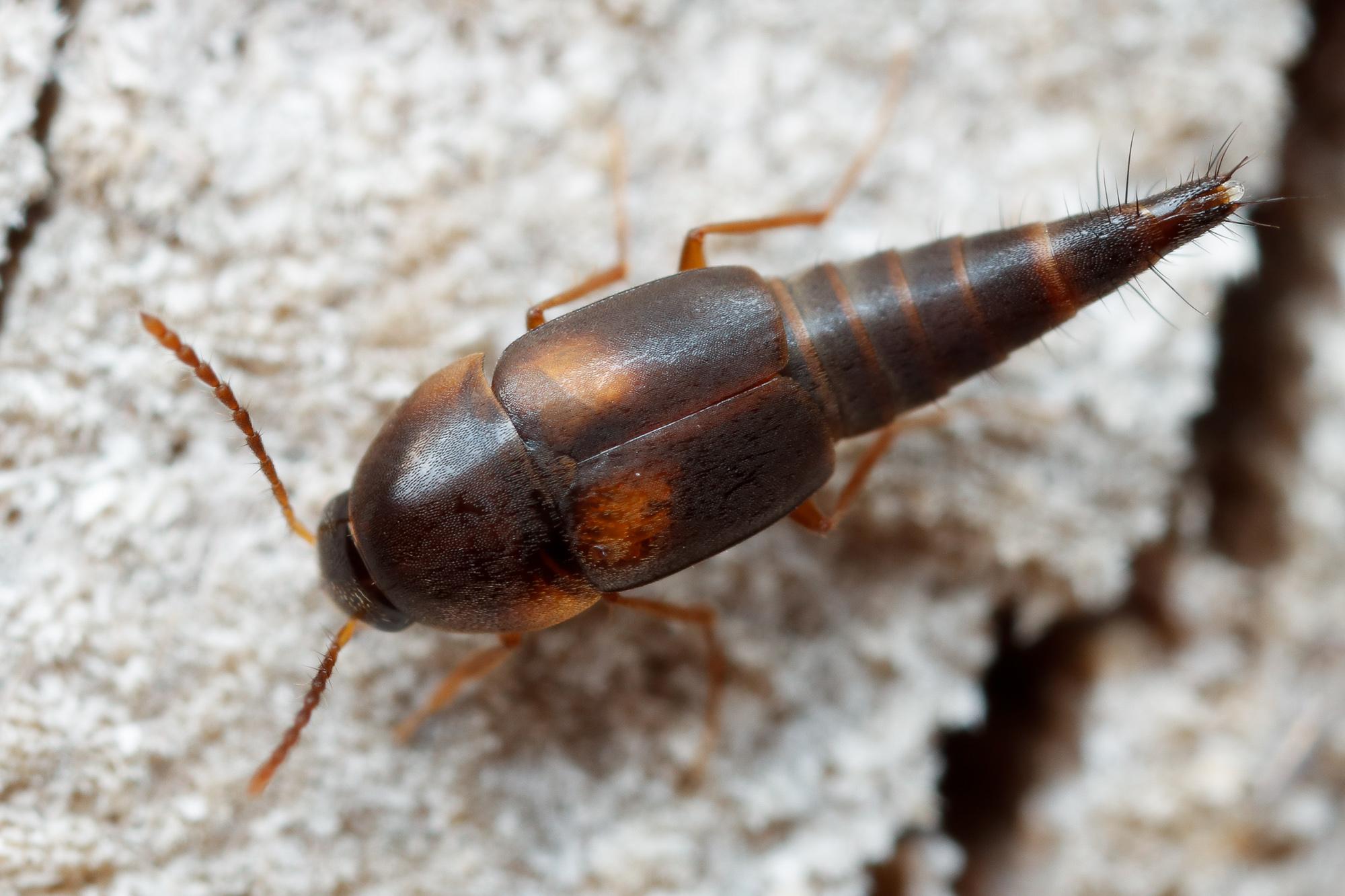 Sepedophilus littoreus, kortvinge