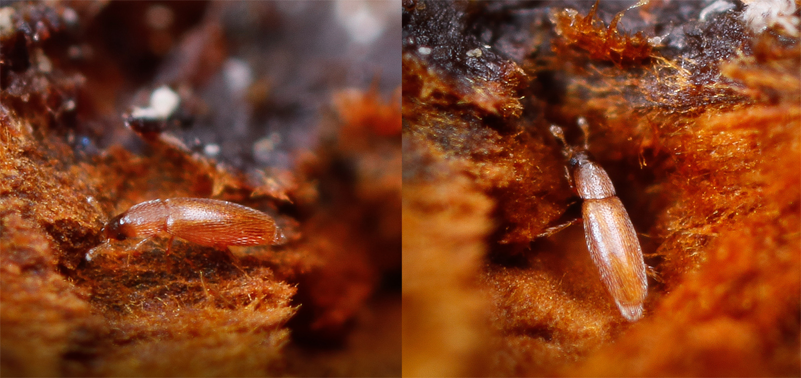 Baranowskiella ehnstromi, fjädervinge