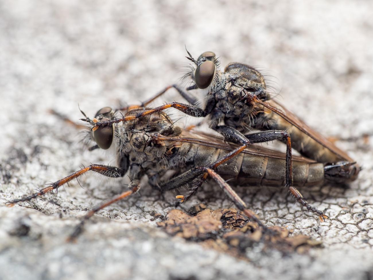 Tolmerus atricapillus, rovflugor