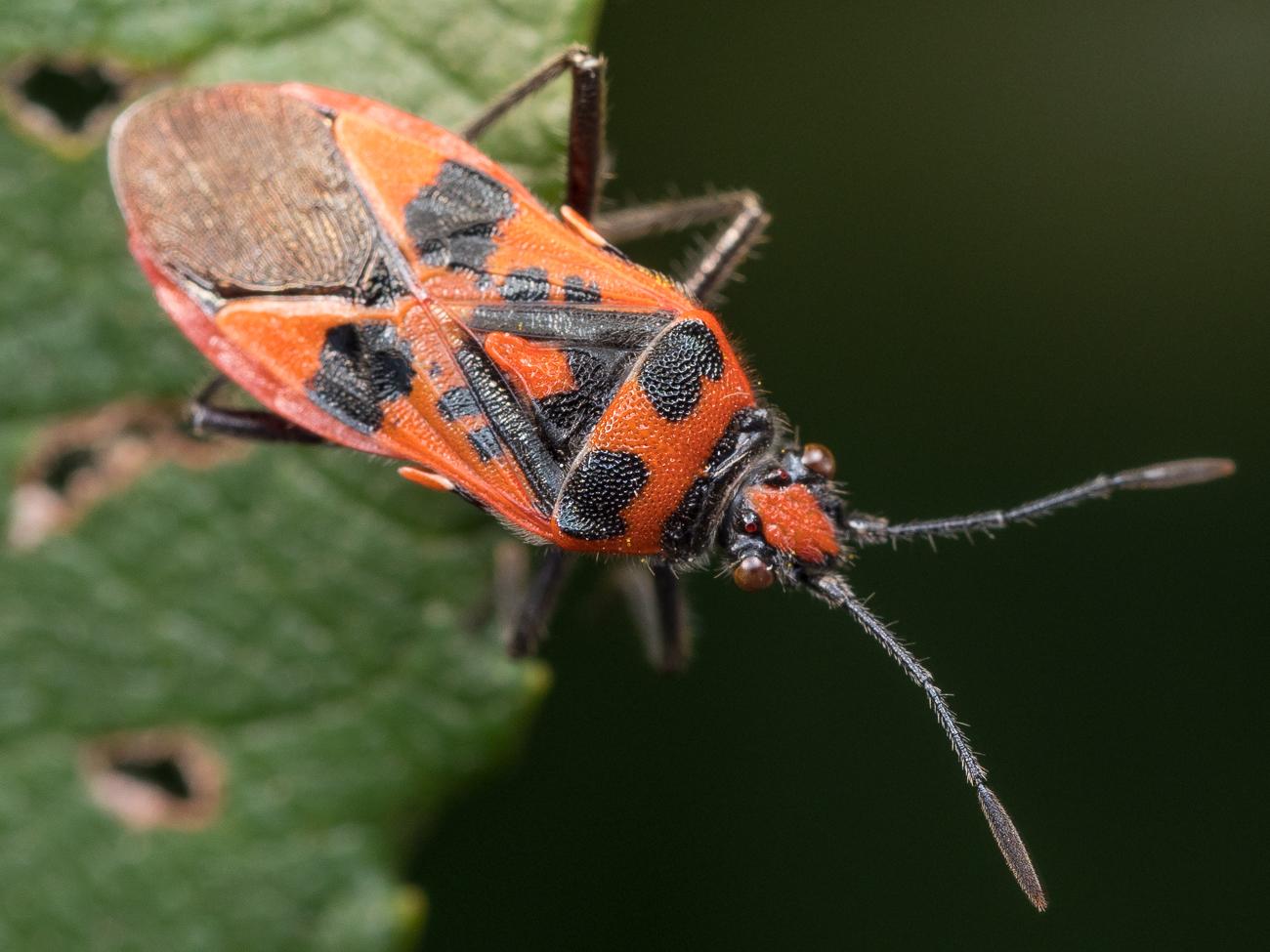 Corizus hyoscyami, rödlus