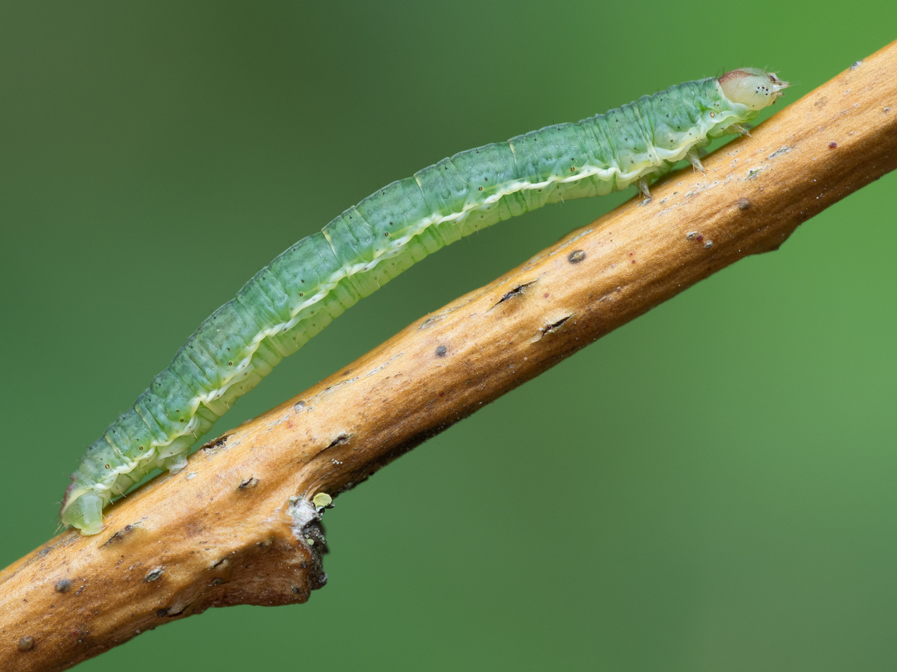 Geometridae, mätare (larv)