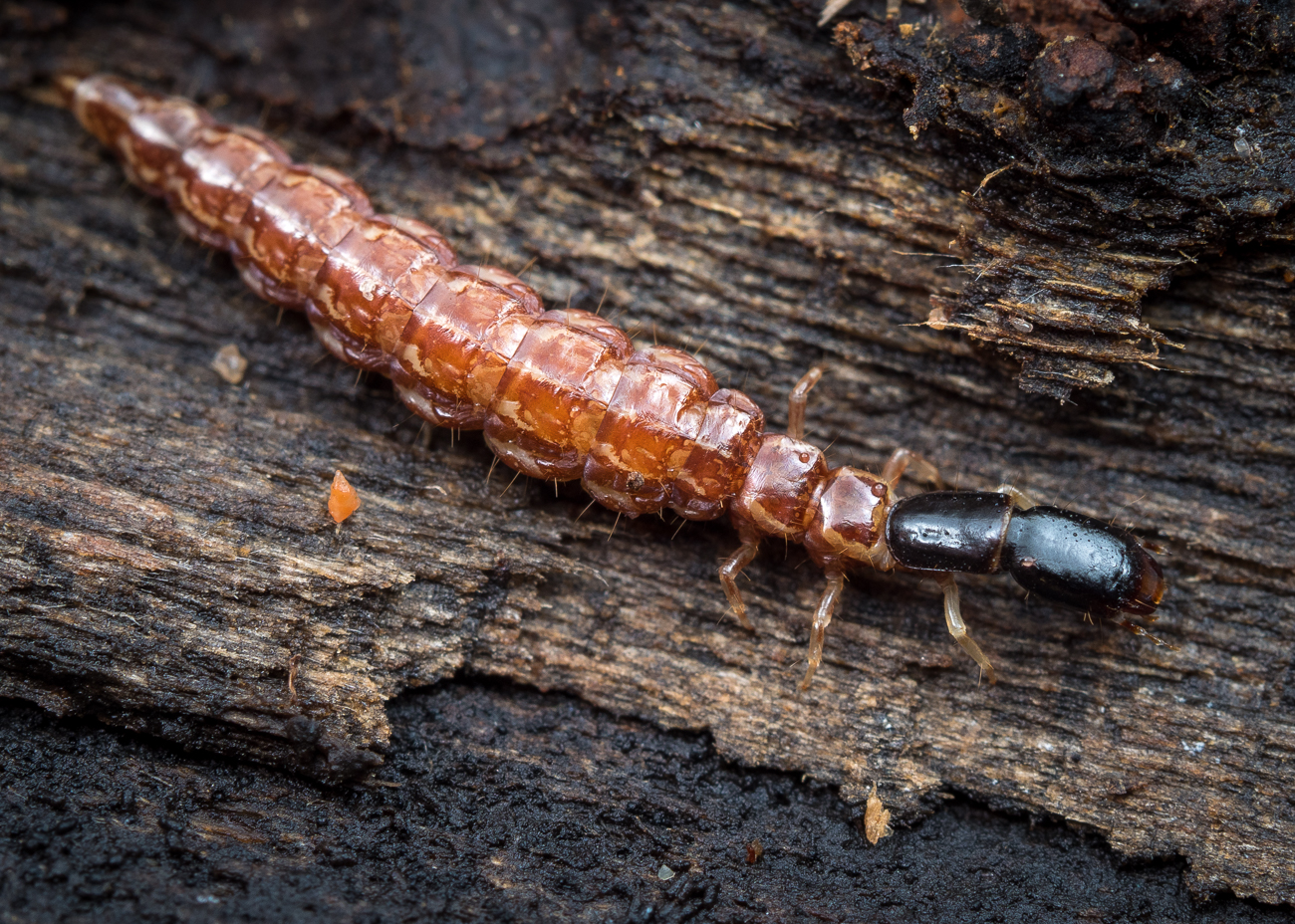 Raphidia sp., ormhalsslända larv