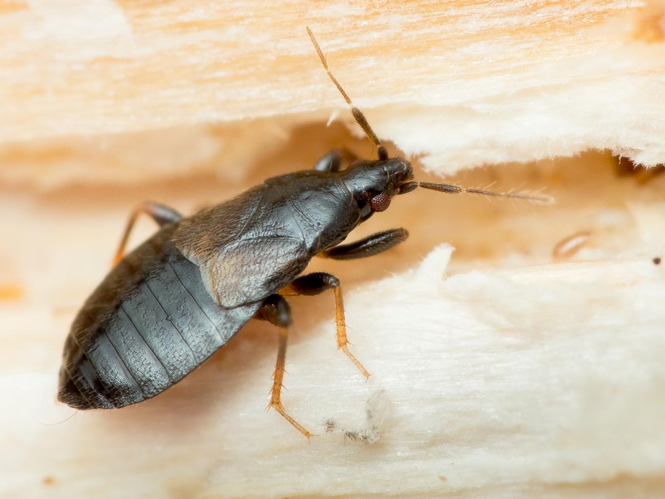 Xylocoris sp., näbbskinnbagge