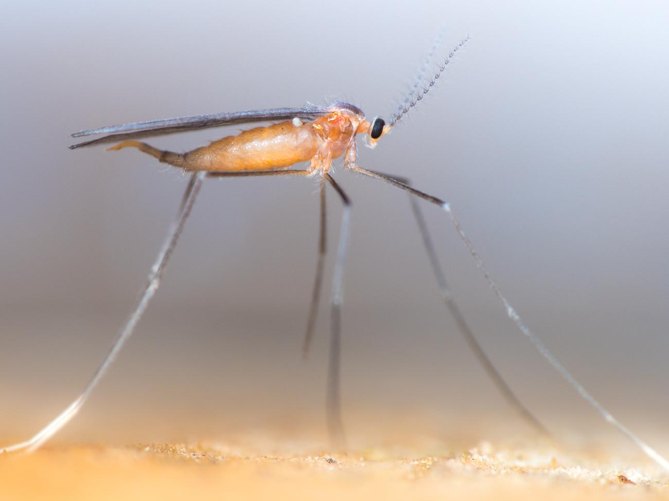 Cecidomyiidae, gallmygga