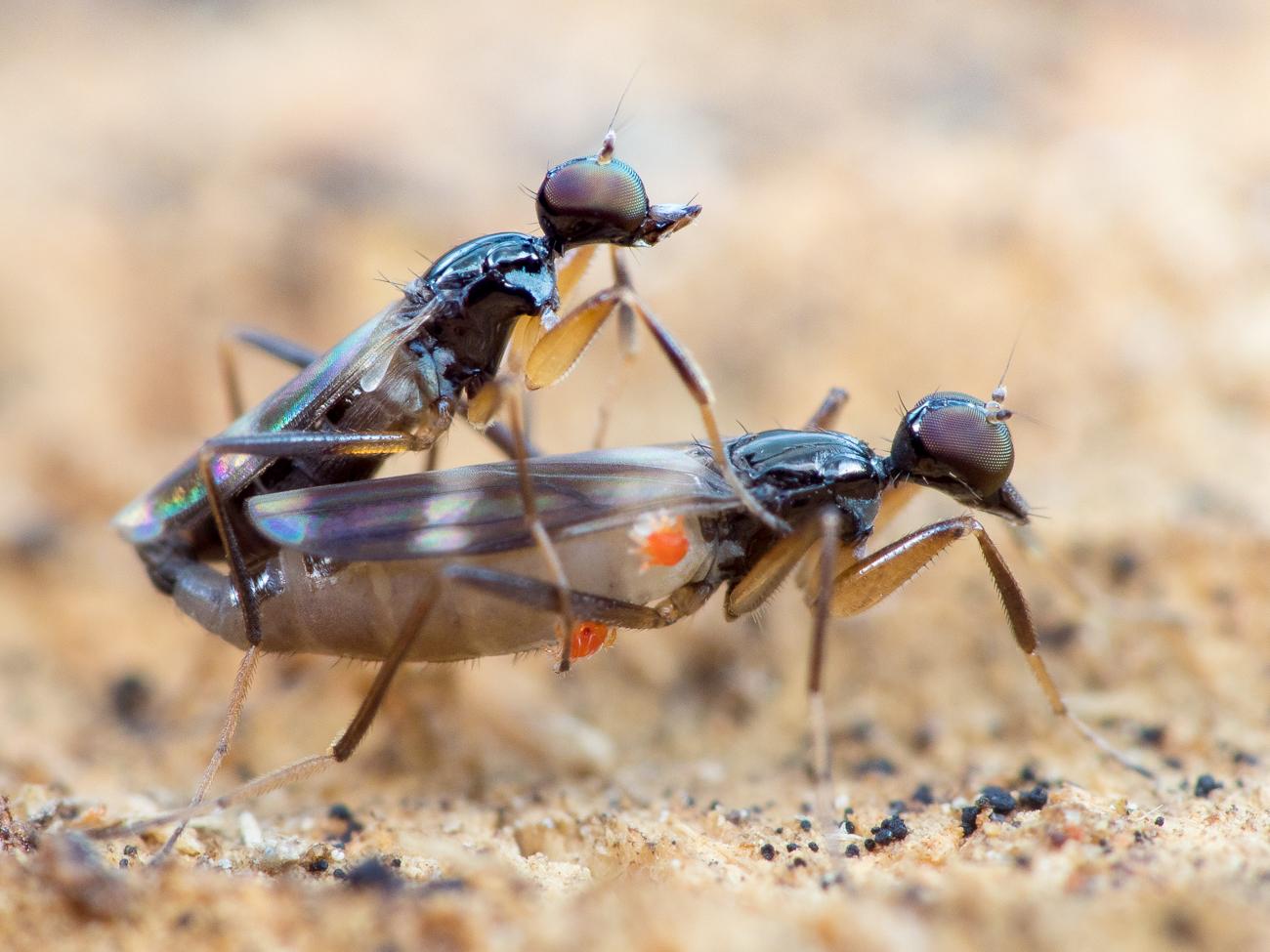 Tachydromia cf. umbrarum, puckeldansflugor