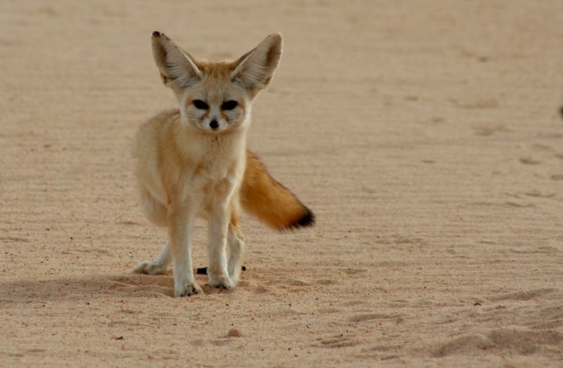 While Saint-Exupery was lost in the Sahara desert after his plane crashed he followed the tracks of a fennec fox