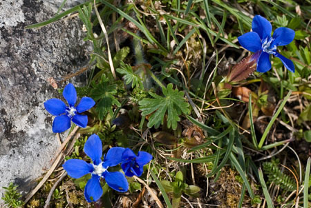 Gentian flowers which grow amongst the rocks near the family's home.