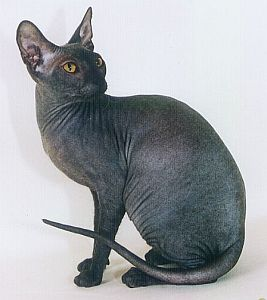 "Jay has a cat named Celeste. ""The one thing a hairless cat shouldn't do is hairball."""