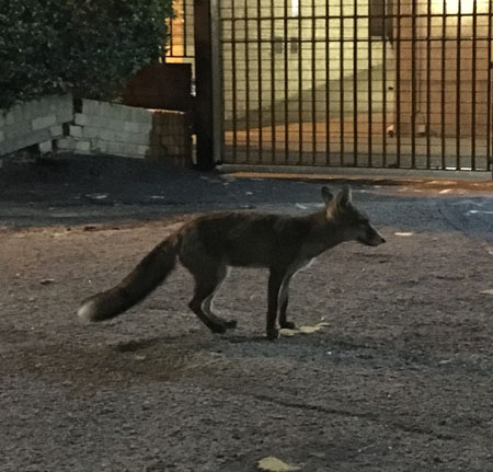 A fox I came upon when walking home recently one night.