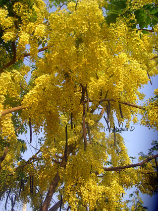 "Roy describes how amidst war: ""Still the Amaltas bloomed, a brilliant, defiant yellow. Each blazing summer it reached up and whispered to the hot brown sky, Fuck You."""