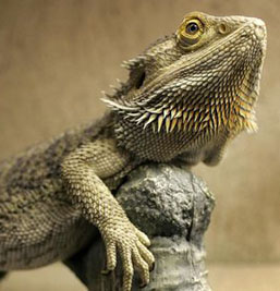 Jeanne repeatedly views a Bearded Dragon in a pet store she passes.
