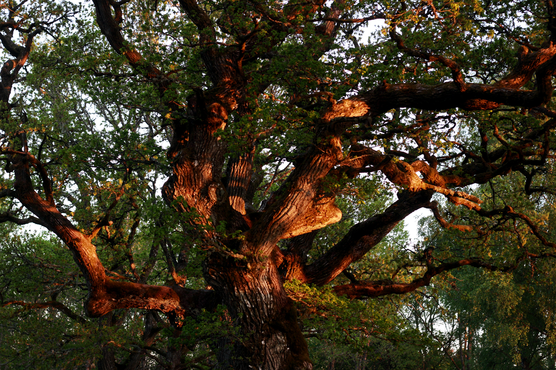 drömträd.jpg