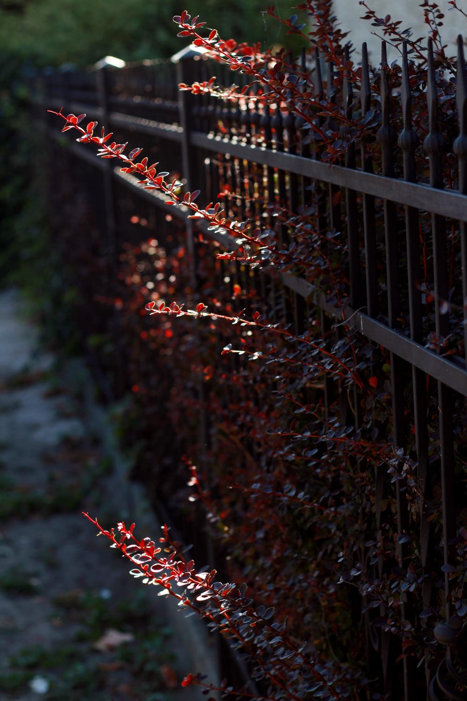 röda blad.jpg