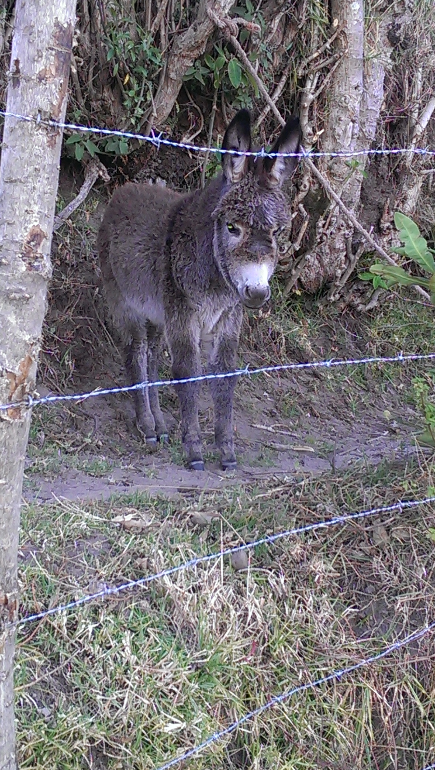 Baby mule watched us play