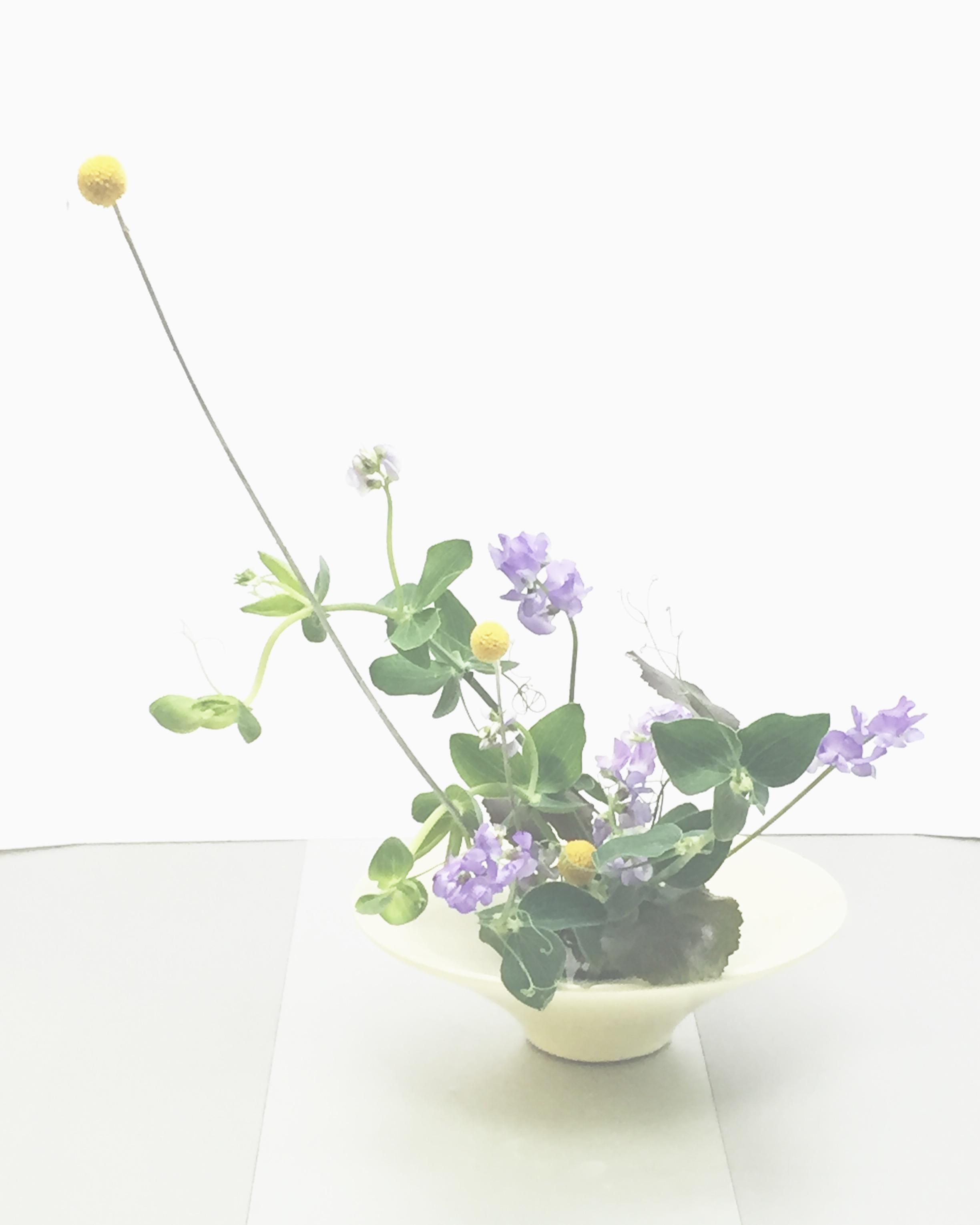My arrangement today sweet pea, craspedia, galax leaf. #nodaikebanaclass  #ikenobo  #ikebana  #flowers  #sweetpea
