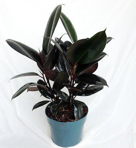Rubber Plant.jpg