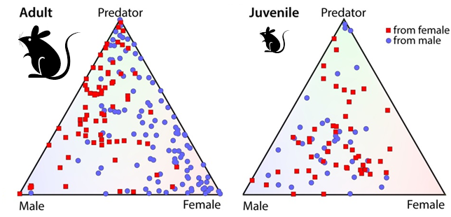 """The role of sex in neural responses to odor.  Each red dot represents a deep brain (medial amygdala) neuron in a female mouse, and each blue dot an analogous deep brain neuron in a male mouse. The corners of the triangles represent the different odor cues tested (predator urine, male mouse urine, and female mouse urine). The position of each dot reveals the cell's firing pattern. A dot in the center represents a neuron that is often """"turned on"""" by all three stimuli, whereas a dot in one corner of the triangle represents a neuron that is usually """"turned on"""" specifically by that stimulus. Clearly, neurons from adult females respond strongly to male odor cues and neurons from adult males respond more strongly to female odor cues. Juvenile mice, on the other hand, lack this sex-based difference. (Courtesy of Dulac Lab)"""