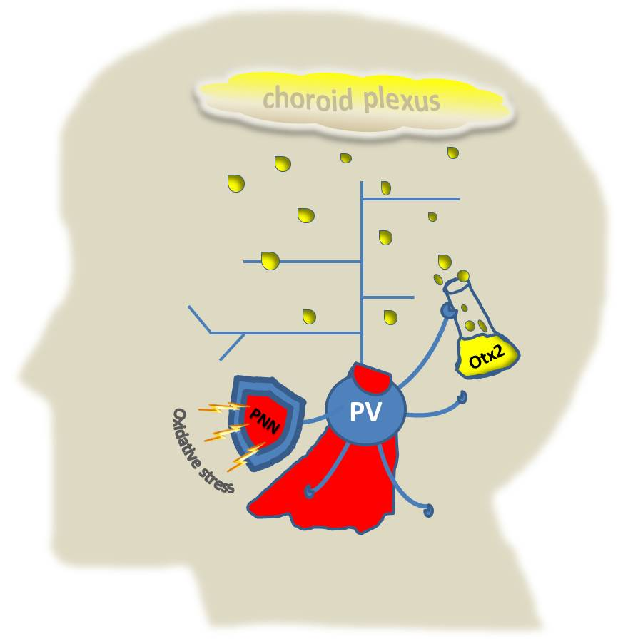 """Read the related story,  """"Parvalbumin neurons–new insight into the workings of a superhero cell""""   on  Vector , Boston Children's Hospital's science blog"""