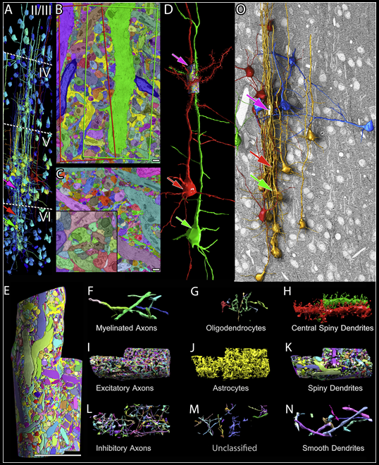 Multiscale Reconstruction of Mouse Cerebral Cortex. Panel A    shows the various layers of cortical tissue imaged overall.  Panels B and C  show manual and automated segmentations of everything within a single section in the area reconstructed at highest resolution.  Panel D  shows a 3D rendering of the cell bodies and apical dendrites of two pyramidal neurons highlighted in the analysis—created by stacking together many single section images of the type shown in B and C. The multicolor cylinder near the pink arrow in D marks the small pieces of dendrite around which the highest resolution reconstruction was performed. (Note that the arrows in D correspond to the arrows in A, illustrating the 'zoom-in' to layer 5 of cortex.)  Panel E  shows a closeup of the cylinder highlighted in D, and  panels F through N  show all the parts within, from different types of axons and dendrites to pieces of glial cells. Figure excerpt from    Kasthuri et al. Cell 2015   .