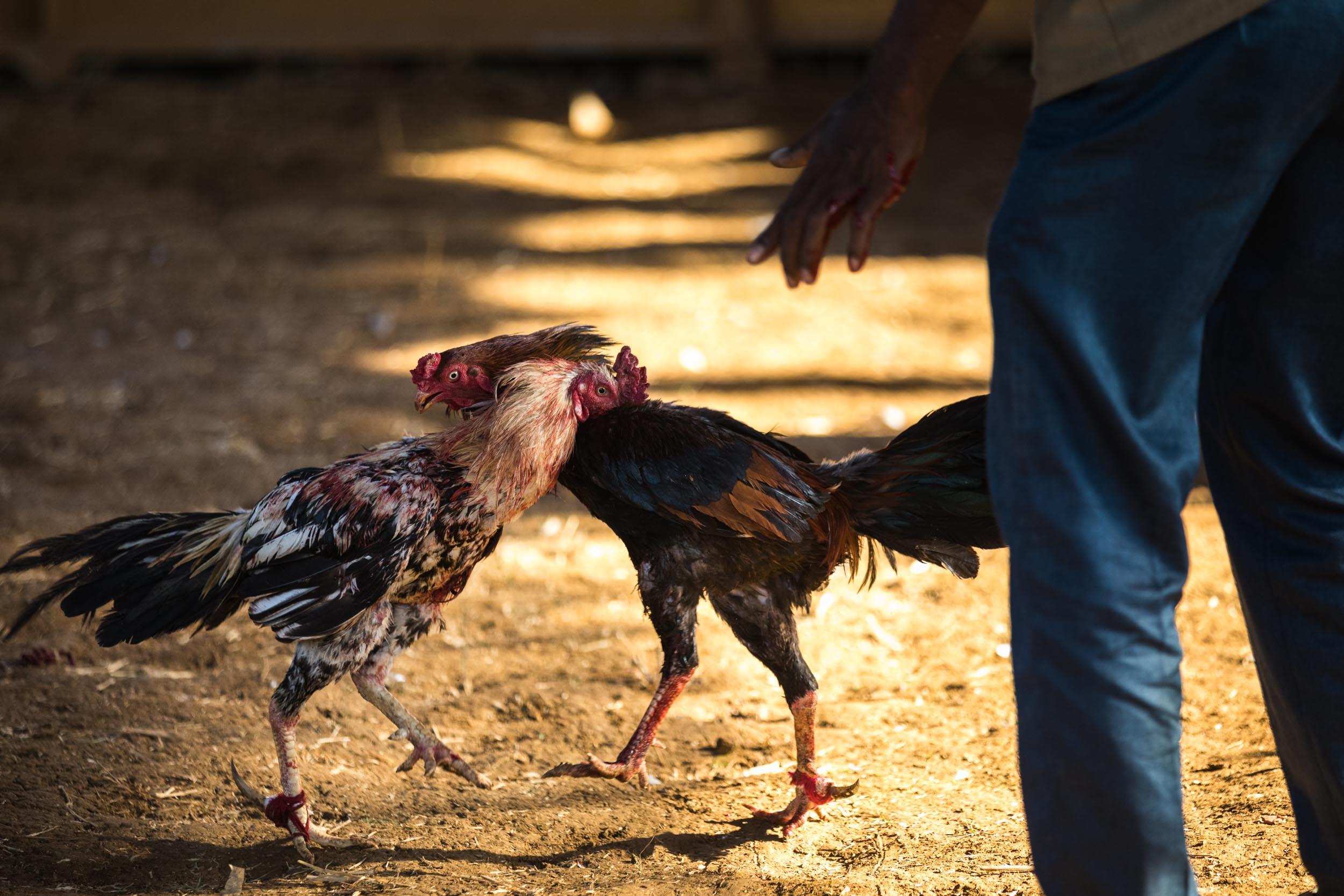 Giuliano_Berti_Chicken-Fight_India-7.jpg