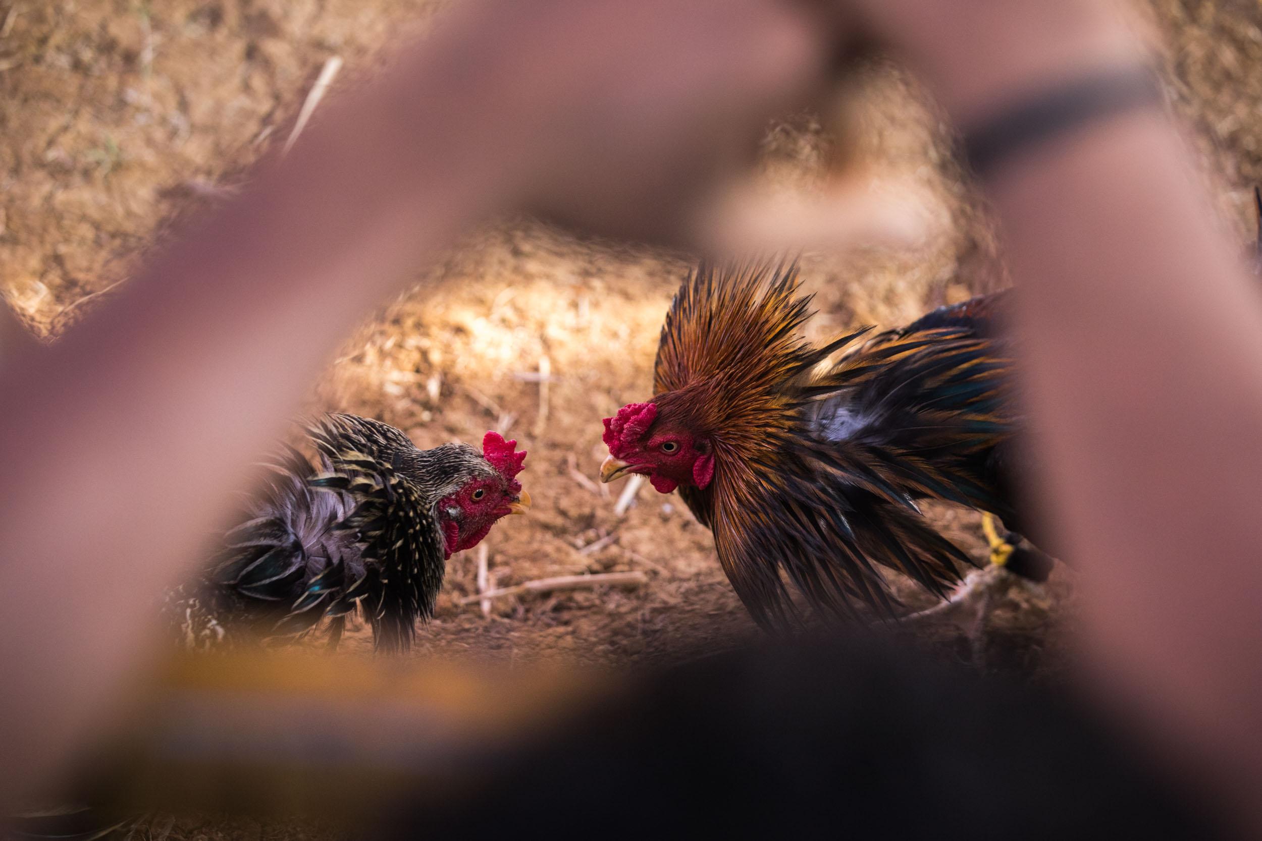 Giuliano_Berti_Chicken-Fight_India-6.jpg