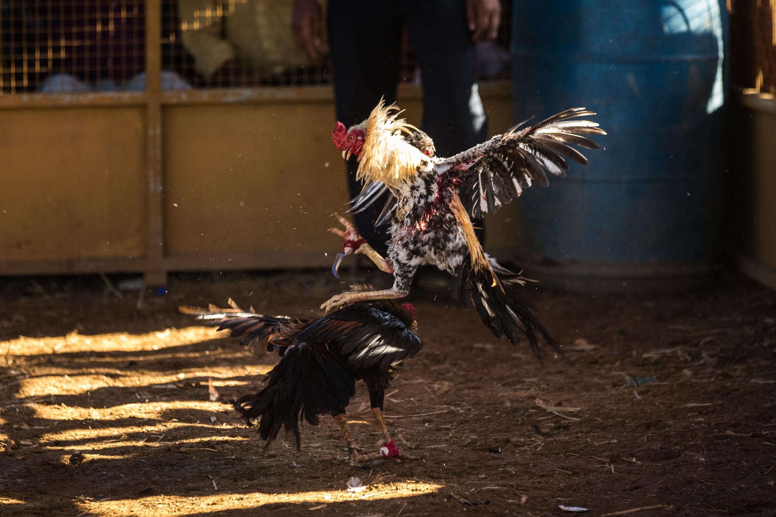 Giuliano_Berti_Chicken-Fight_India-9.jpg