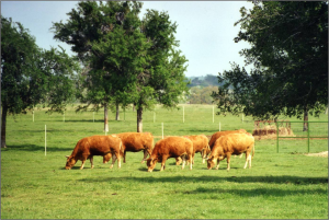 Original Akaushi Females Imported to the US grazing at Hearbrand Beef.