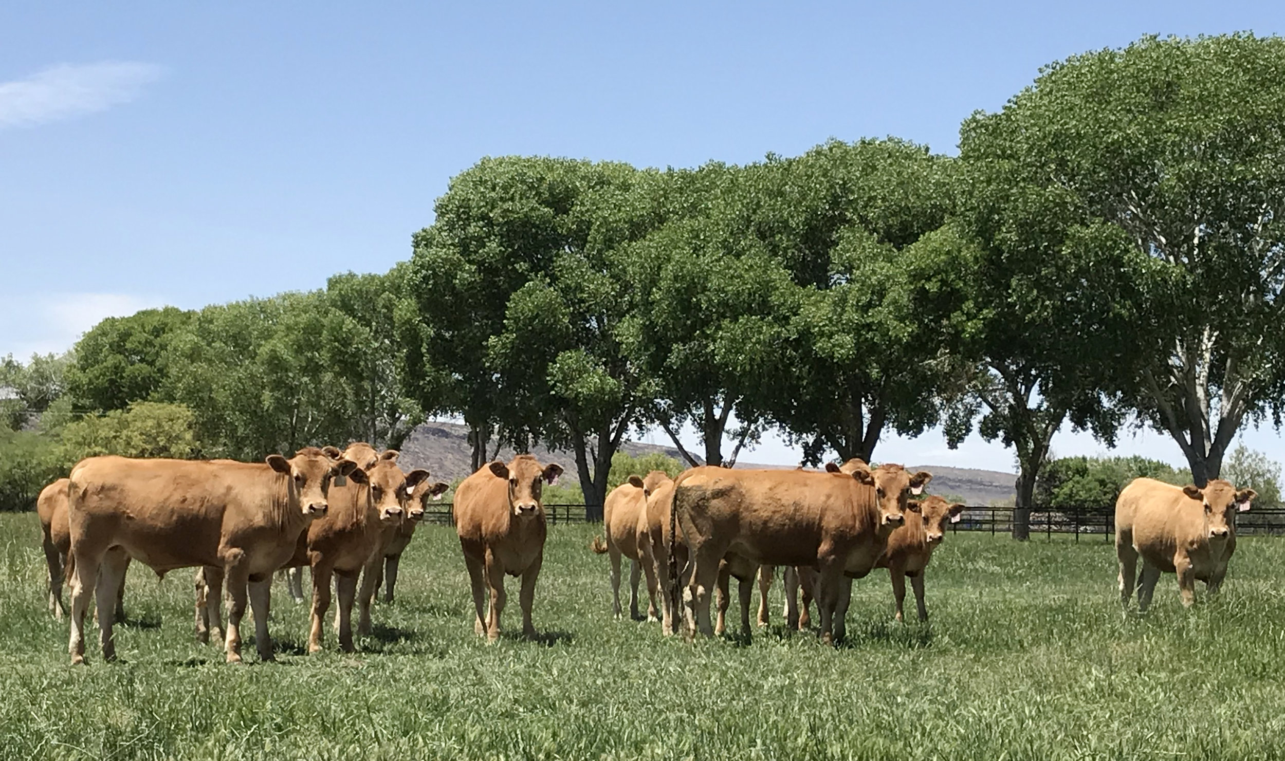 Lot 612 Fullblood Yearling Steers - Click here for description PDF