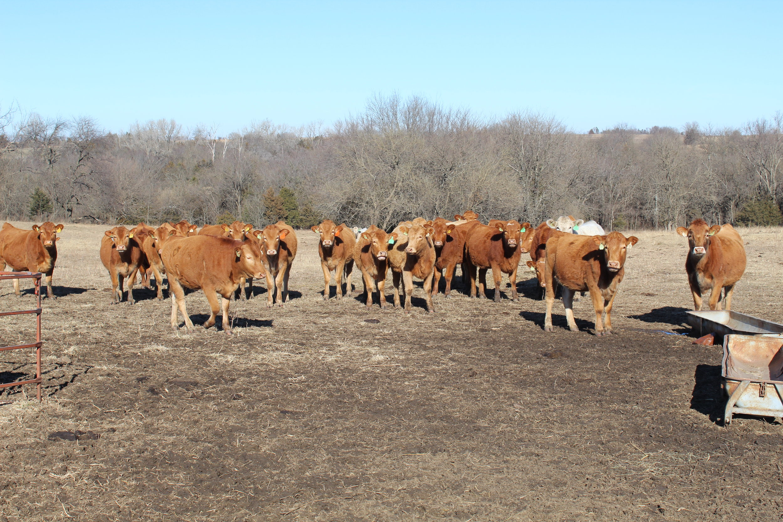 Lot 1520+ Heifers - Click here for description PDF