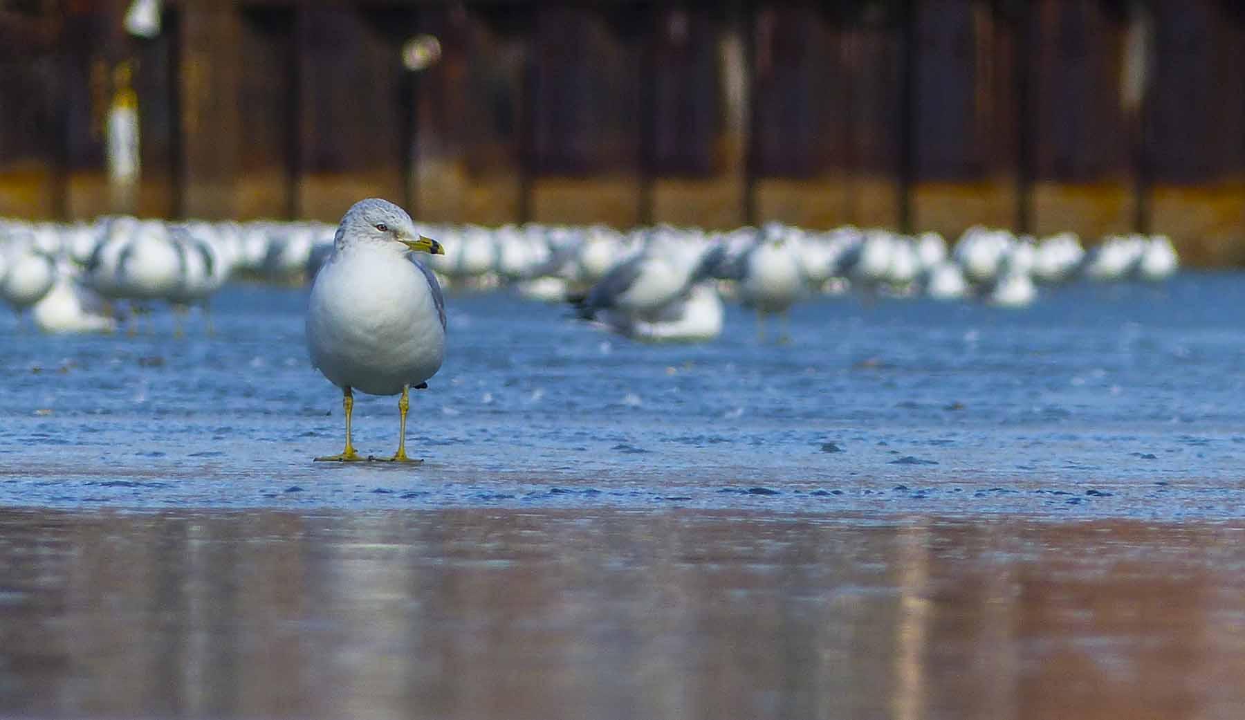 Seagull_ice_lone (1 of 1).jpg