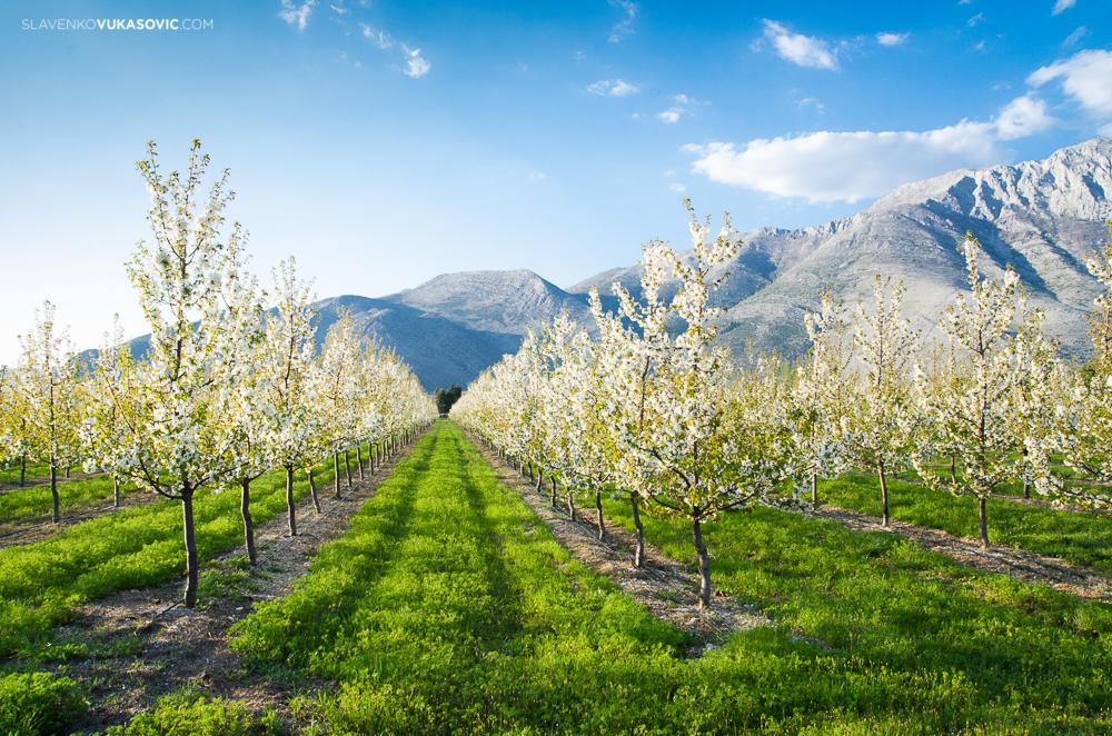 Cherry orchard - Popovo polje (4).jpg