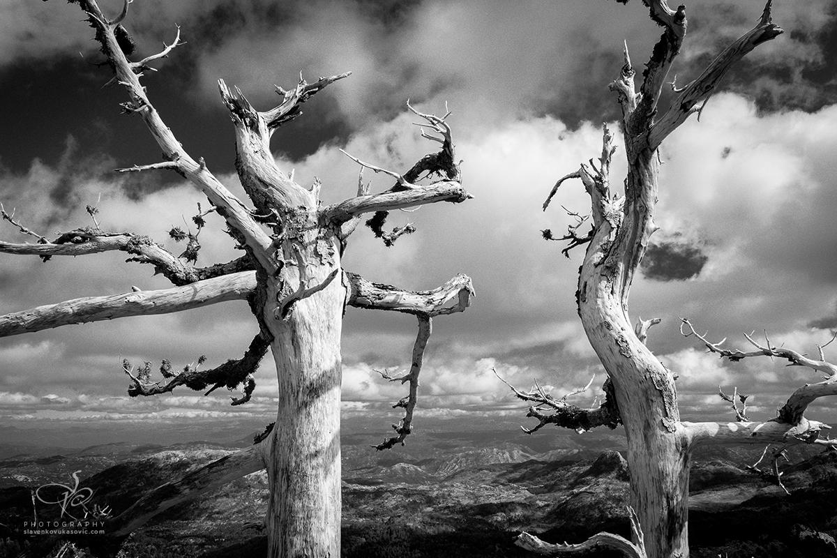 Dva osušena stabla endemske munike prkose vremenu