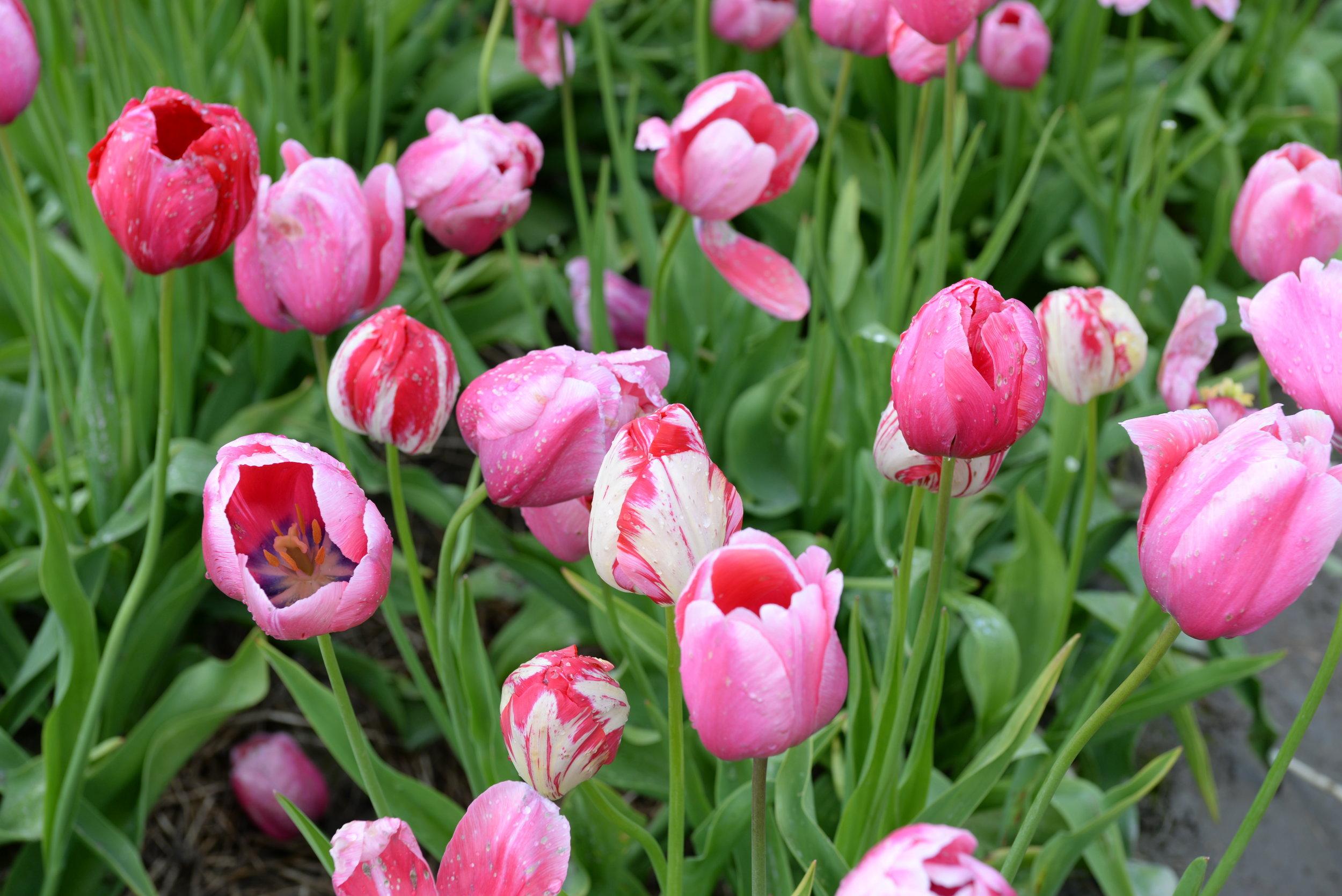 tulip festival abbotsford BC