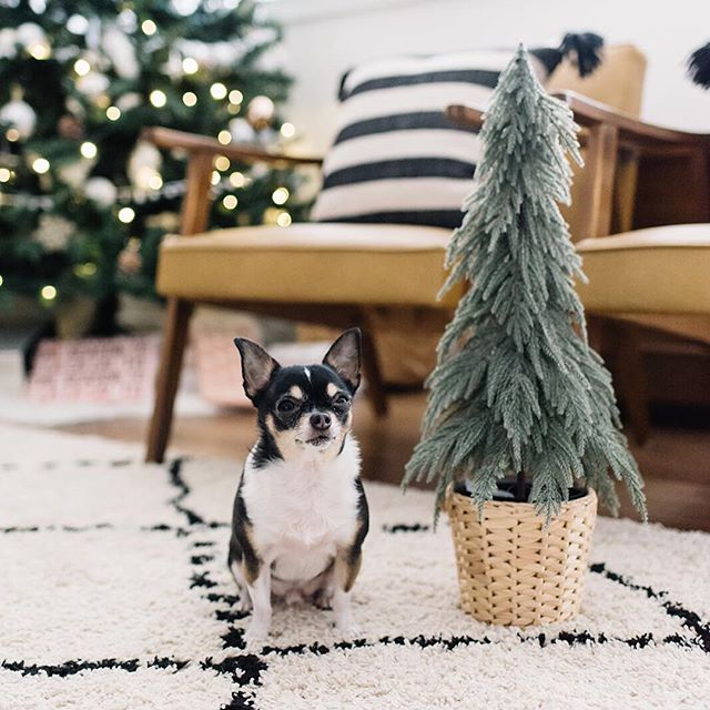 Herman went for an au natural Christmas tree this year and I approve 😆🤣🙌🏻😊️❤️ Also, in case you missed it, last week on the blog I talked a bit about how Herman and I were able to give back this holiday season thanks to a little help from @fordcanada  Head to the blog for all the deets and the adorable photos ❤️{www.204park.com} #partner . . Photo @brandingbytraceyjazmin for 204 Park #yeg #yegblog #fordcanada #fordescape #chi #chihuahua #chihuahuasofinstagram #yegpets #givingback #christmas #christmasdecor #christmastree #dogsofinstagram #hermiebooboo