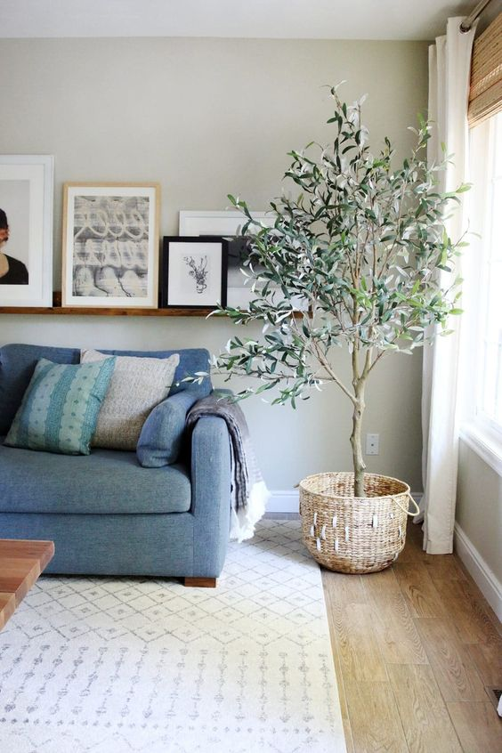 olive tree in living room