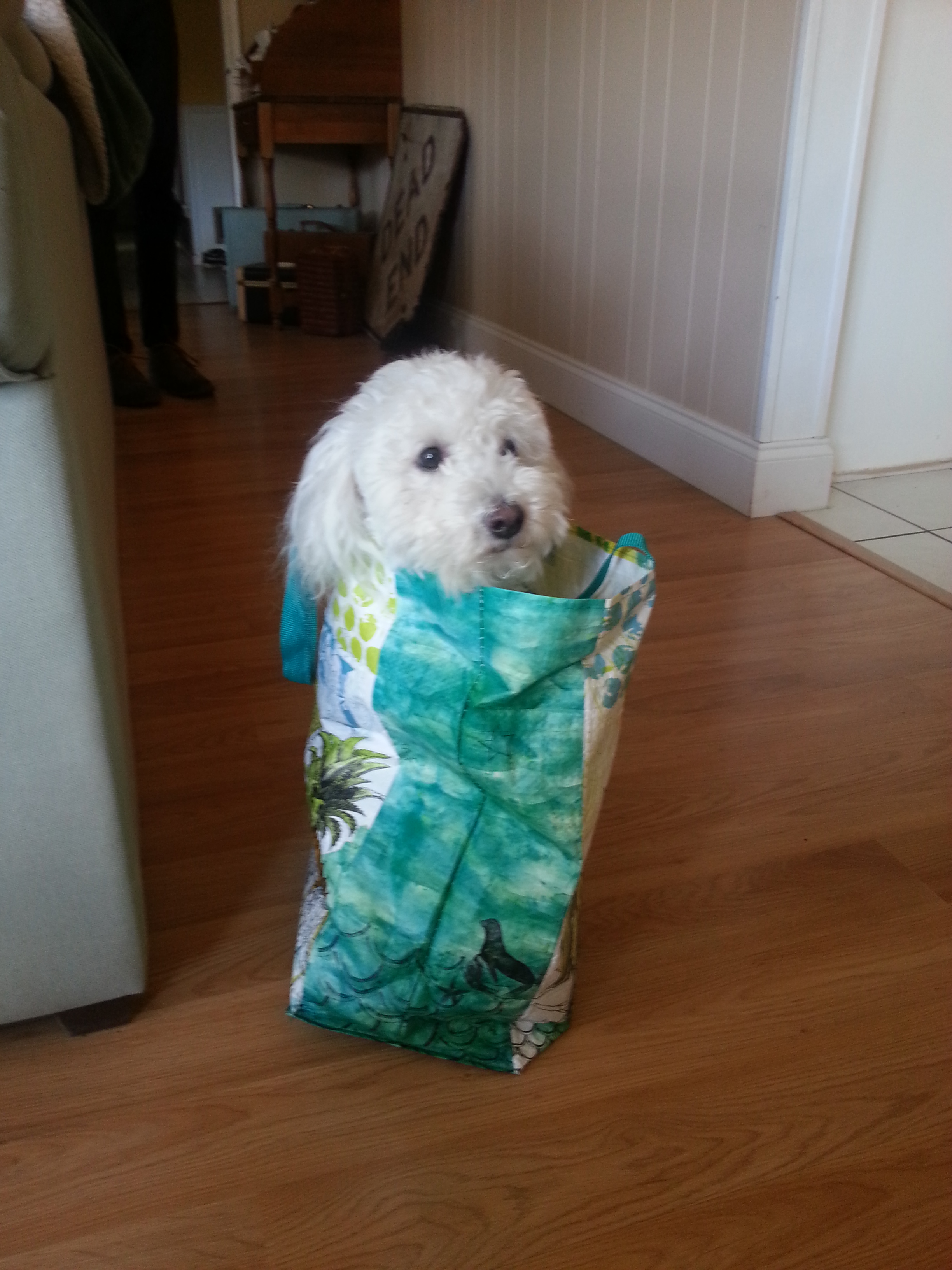 My dog Petey.  He'll chew your leg right off, if he can bother to get out of the shopping bag.