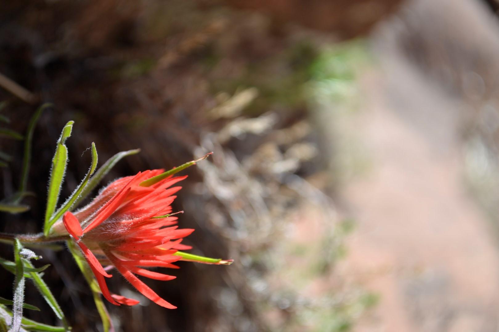 Utah wildflower, photo: Andy Bruner