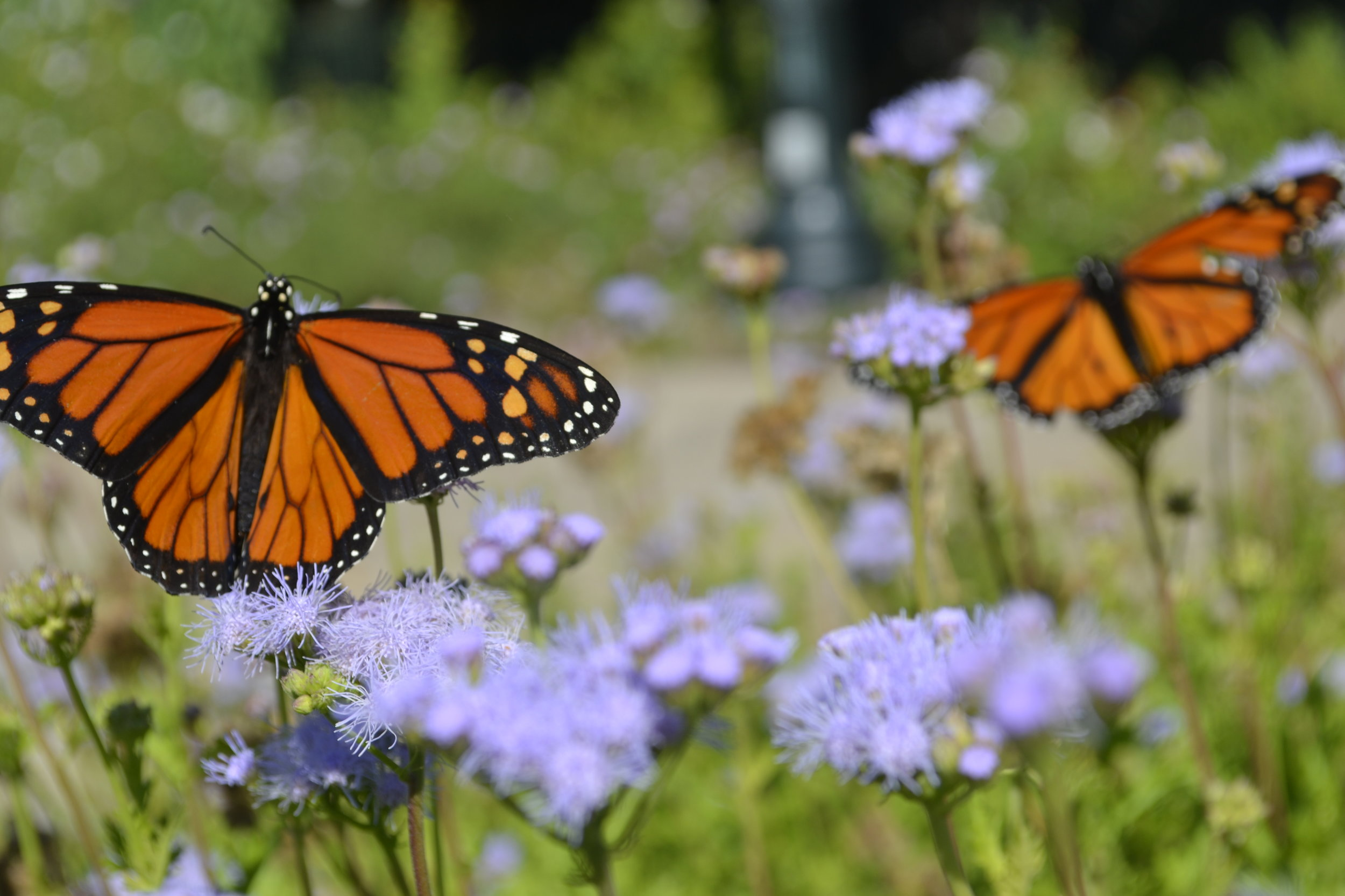 Monarch butterflies, Forth Worth Botanic Garden, photo: Andy Bruner