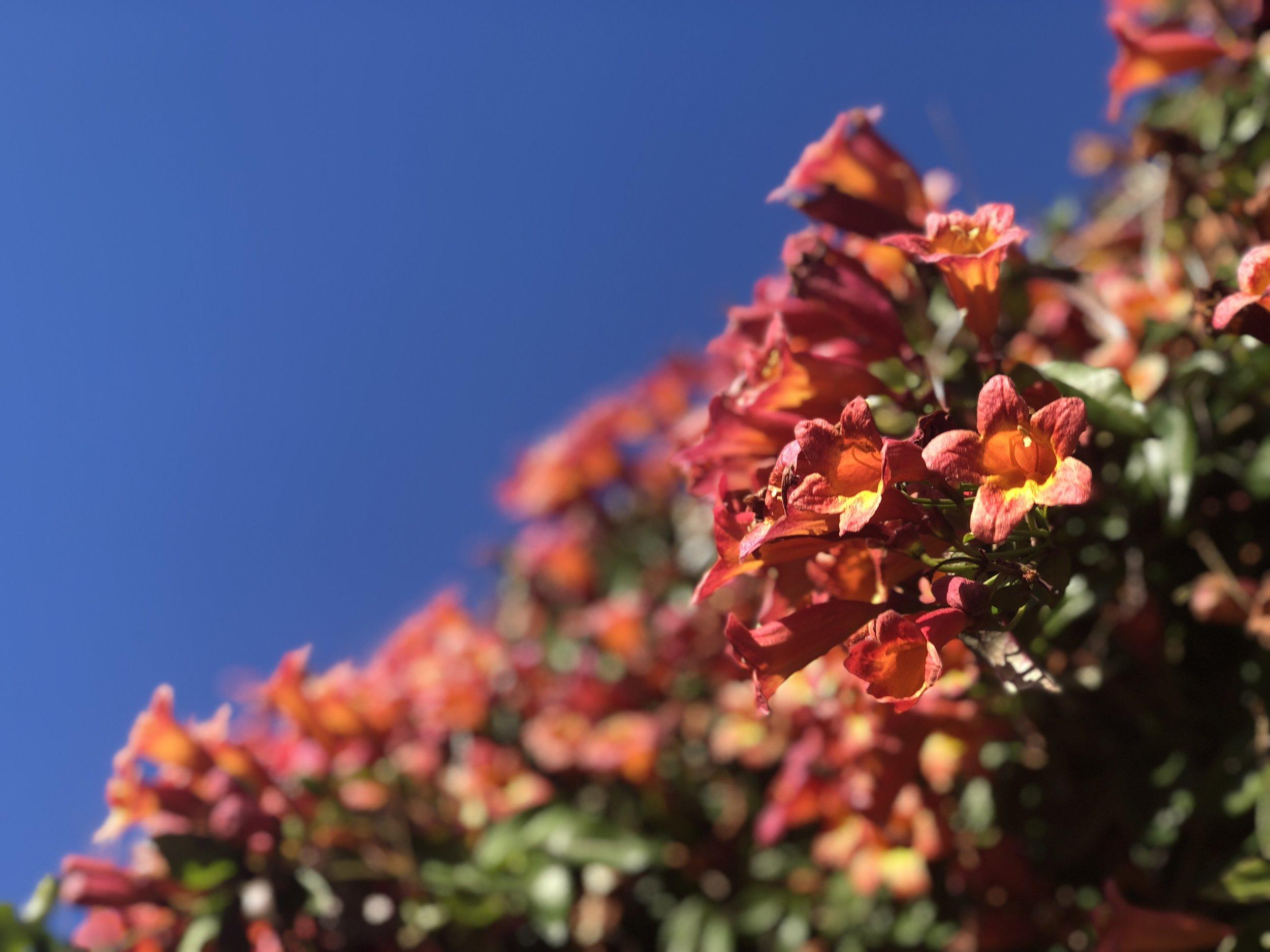 Tangerine Crossvine on the pergola over my back patio.