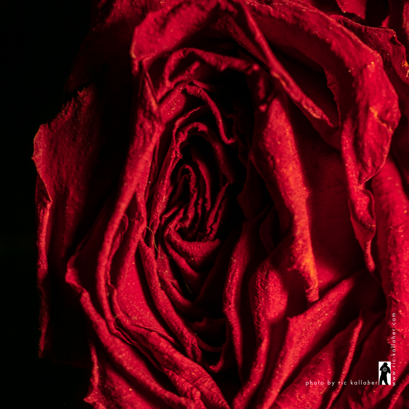 Rose Death