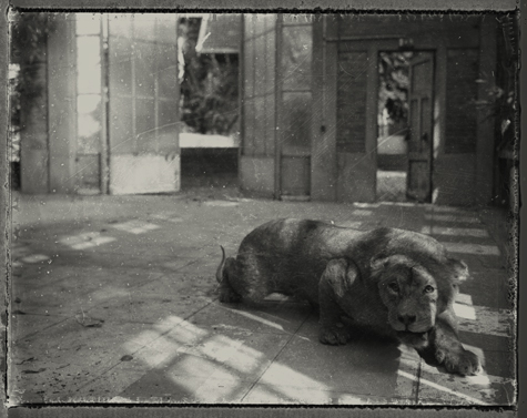 la lionne du kenya, sarah moon, 2013