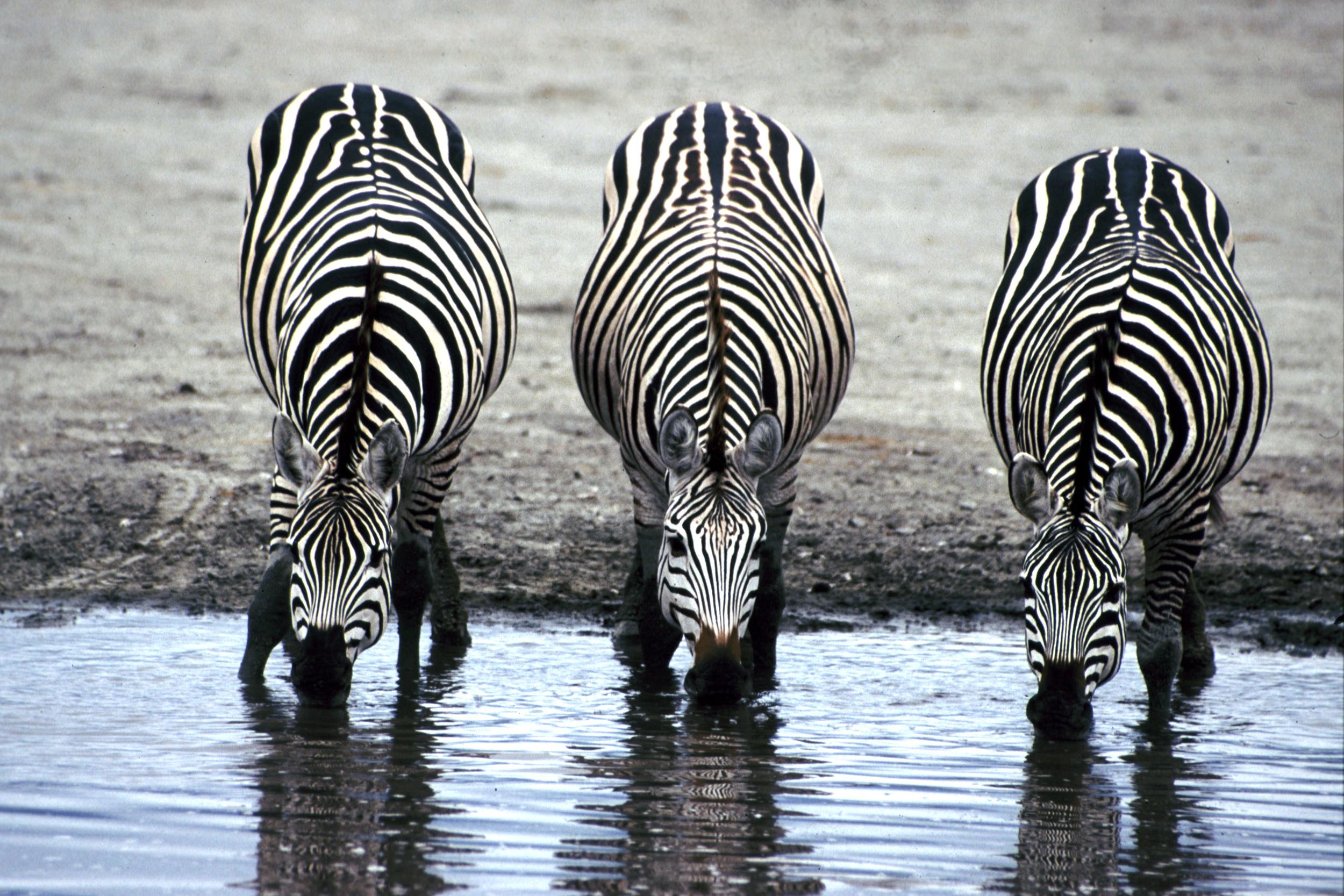 Three_Zebras_Drinking.jpg