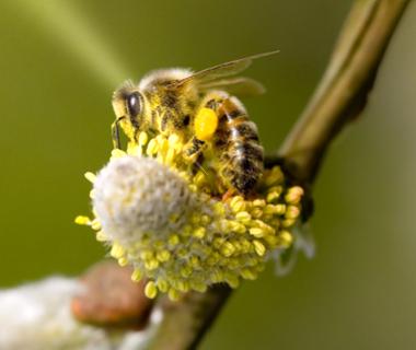 abeilleouvrière.jpg
