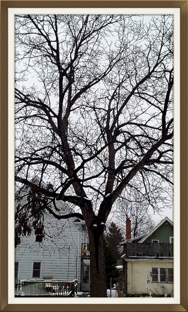 Walnut tree from Quincy St. in Minneapolis