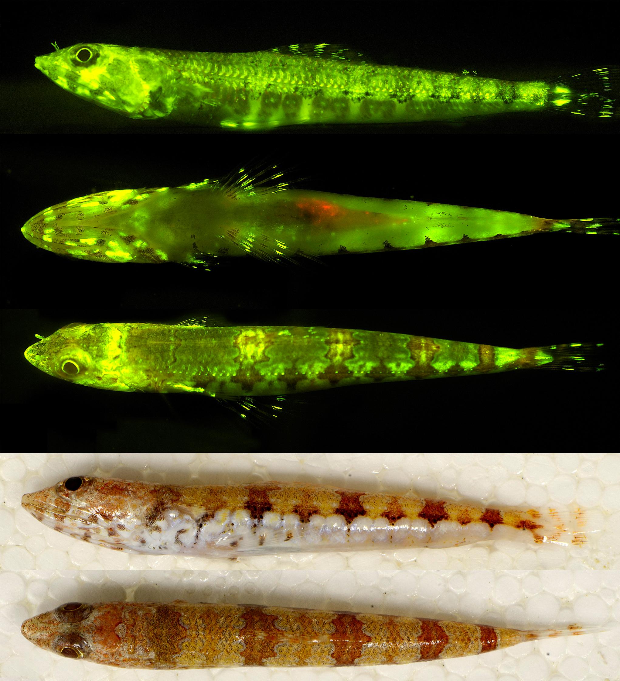 Synodus_Biofluorescence