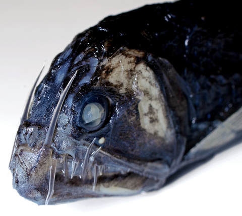 Viperfish ( Chauliodus ). Image by Leo Smith.