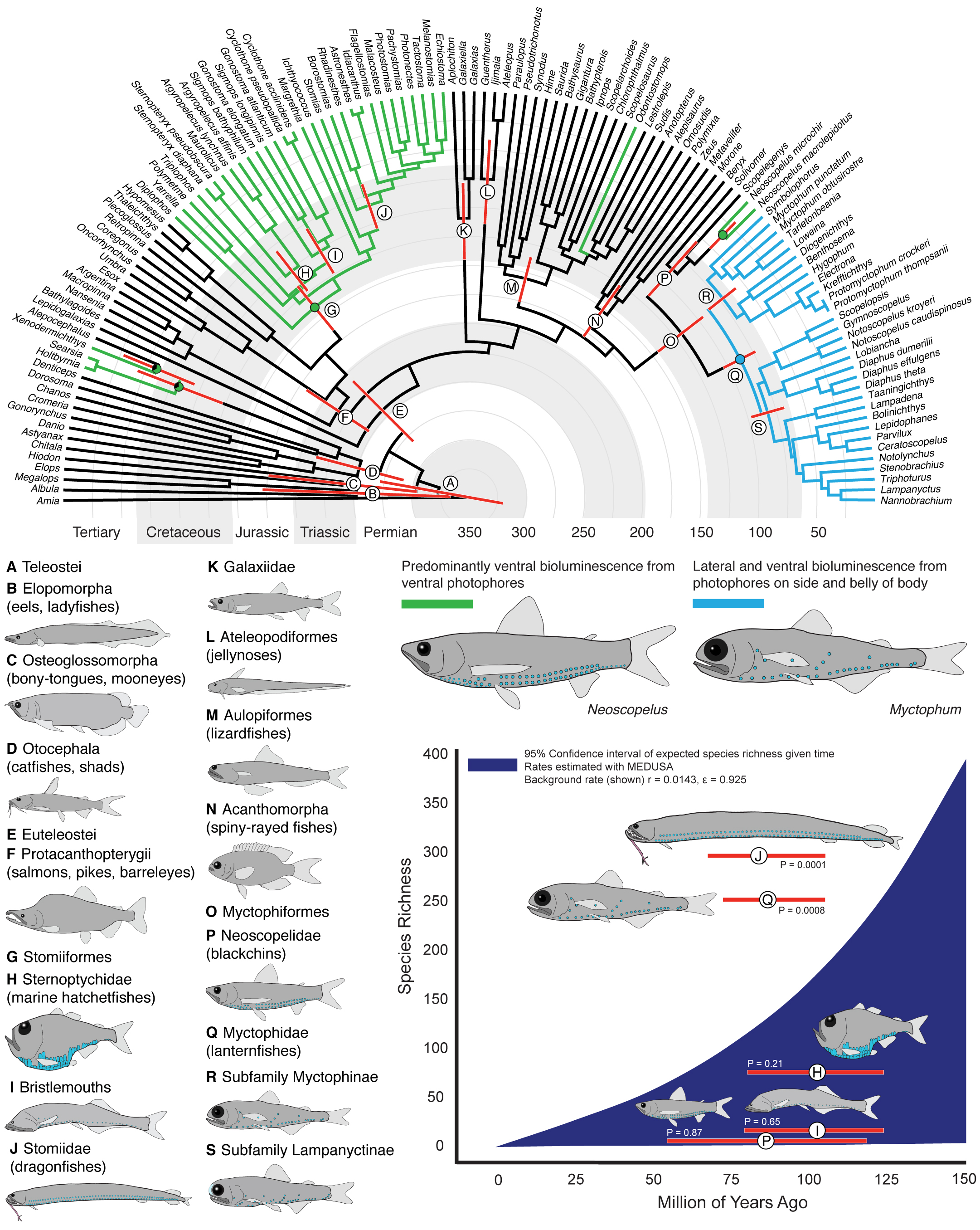 Bioluminescence impacts Diversification in Deep-sea Fishes - 18. Davis, M.P., Holcroft, N.I., Wiley, E.O., Sparks, J.S., and Smith, W.L. (2014). Species-Specific Bioluminescence Facilitates Speciation in the Deep Sea. Marine Biology. DOI: 10.1007/s00227-014-2406-x.Google ScholarOPEN ACCESS