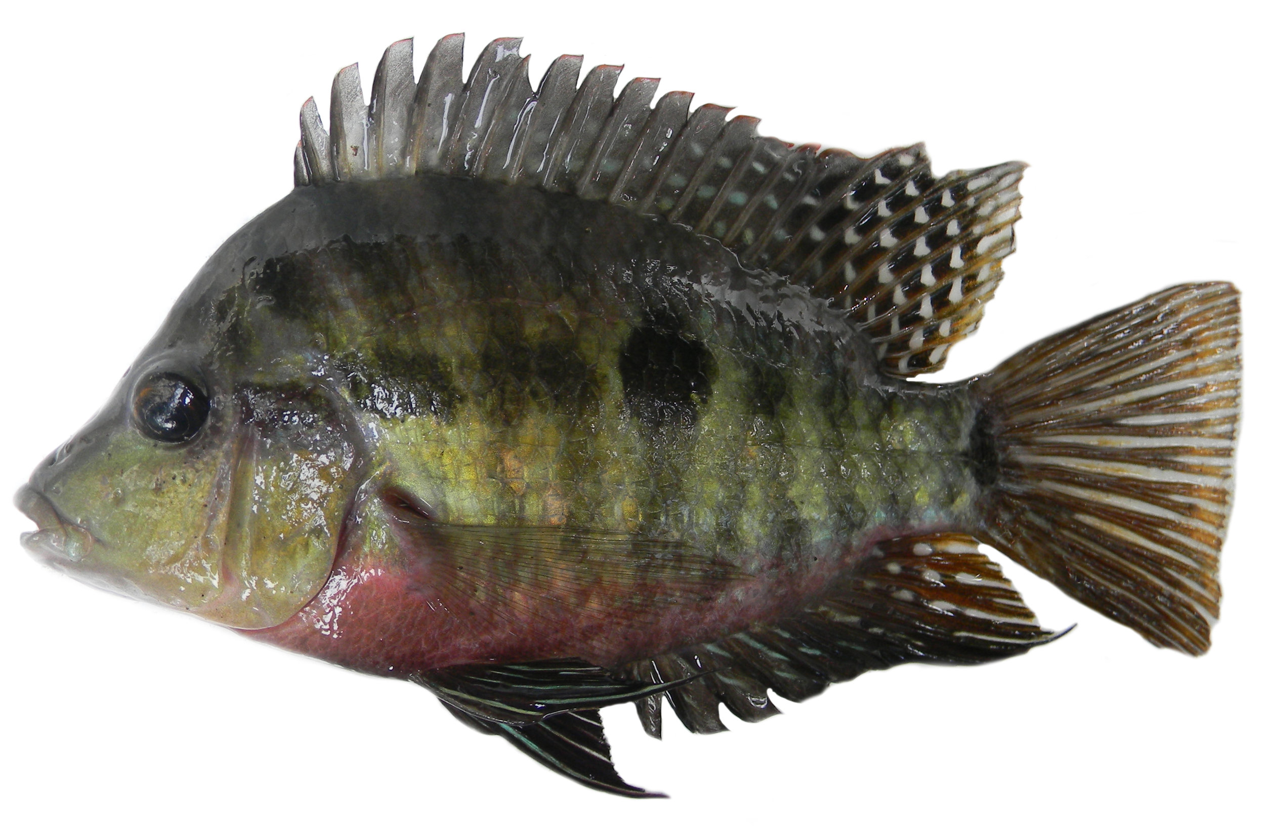 Evolution and Diversification of Cichlids - 16. McMahan, C.D., Chakrabarty, P., Sparks, J.S., Smith, W.L., and Davis, M.P. (2013). Temporal Patterns of Diversification across Global Cichlid Biodiversity (Acanthomorpha: Cichlidae). PLoS ONE. 8(8): e71162.Google ScholarOPEN ACCESS