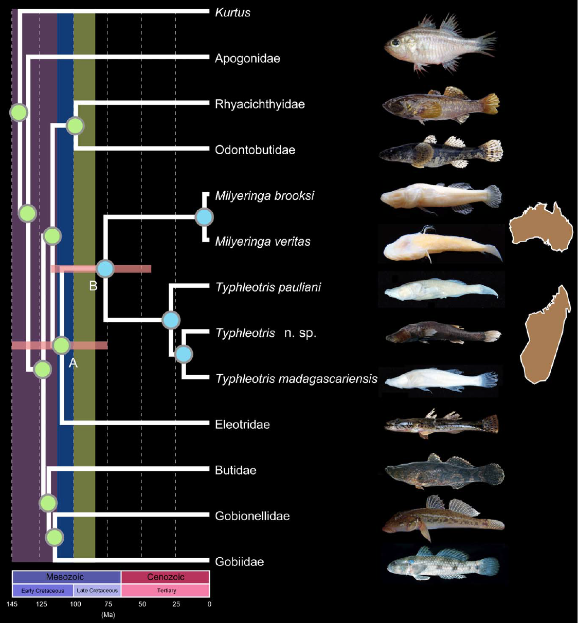 Biogeography and Evolution of Gobies - 11. Chakrabarty, P., Davis, M.P., and Sparks, J.S. (2012). The first record of a trans-oceanic sister-group relationship between obligate vertebrate troglobites. PLoS ONE. 7(8): e44083.Google ScholarOPEN ACCESS